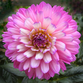 Pink  by Patricia Phillips - Flowers Single Flower ( flowers dahlias pink )