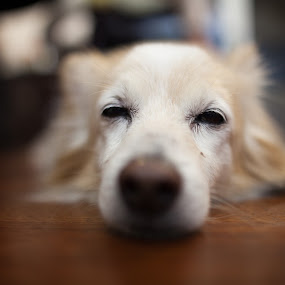 Not sure if... by Jonny Lim - Animals - Dogs Portraits ( lying, squinting, dog )