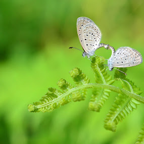 green romance.... by Zainuddin Junidil - Animals Insects & Spiders ( butterfly, macro, nature, insect, garden )