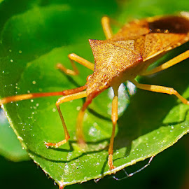 Insect on aleaf by Radu Eftimie - Animals Insects & Spiders ( macro, leaf, insect )