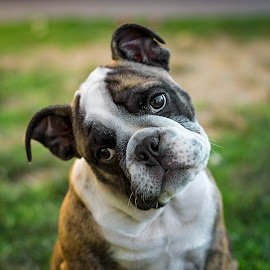 The New Addition by Brent Dreyer - Animals - Dogs Puppies ( bulldog, english bulldog, puppy, dog, puppy portrait )