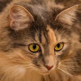 Layla by Tony Burnard - Animals - Cats Portraits ( cat, long hair, stare, multicoloured, tabby )