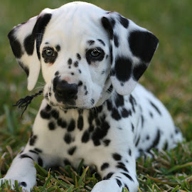 spotted pup by Suzi Wahl - Animals - Dogs Puppies ( #dalmatian, #puppy )