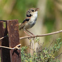 Red-backed Fairy-wren (male)