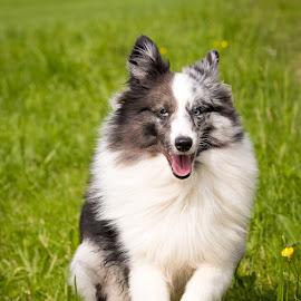 Sheltie Power by Peter Grutter - Animals - Dogs Running ( dogs, shetland sheepdog, sheltie )
