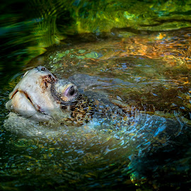 Florida Turtle by Heather Allen - Animals Amphibians