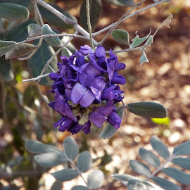 Texas Mountain Laurel by Donna Probasco - Novices Only Flowers & Plants
