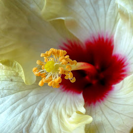 Hibiscus  by Asif Bora - Flowers Flowers in the Wild