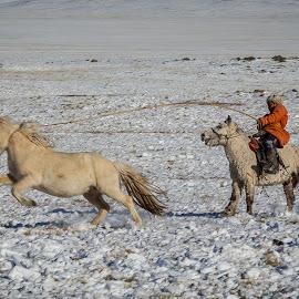 Lassoing a horse by Mark Prusiecki - Animals Horses ( horseman, horse, mongolia, travel, travel photography )