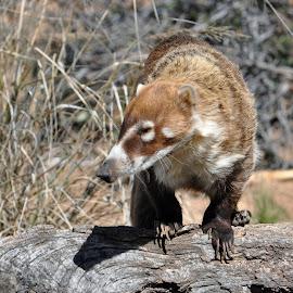 Coatimundi by Dawn Hoehn Hagler - Animals Other Mammals ( desert museum, coati, arizona-sonora desert museum, raccoon, coatimundi )