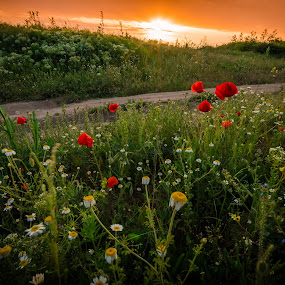 explosion of spring by Lupu Radu - Flowers Flowers in the Wild ( field, wild, sunset, poppies, flowers, spring,  )