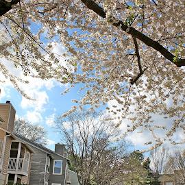 Beauty of Spring by Peter DiMarco - City,  Street & Park  Neighborhoods ( neighborhoods, houses and trees, street, neighborhood, city )