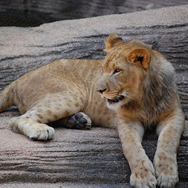 Lioness by Angel Harvey - Novices Only Wildlife ( lioness )