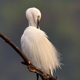 Egret by Manoj Kulkarni - Animals Birds ( cleaning, nature, sanctuary, preening, beak, white, wildlife, branch, feathers, cattle, egret, black )