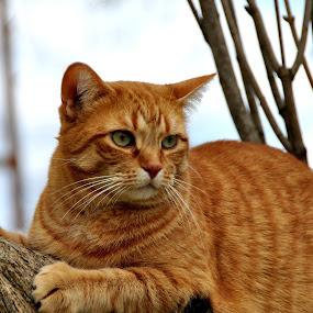 Peaches  by Debbie Johnson MacArthur - Animals - Cats Portraits ( cats )