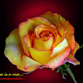 Rose is....  by Asif Bora - Typography Quotes & Sentences