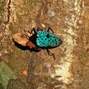 Blue Beetle - Cypherotylus cf. dromedarius