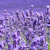 App live wallpaper lavender APK for Windows Phone