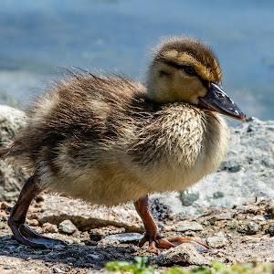 219A7512 edited,uck,gosling,duckling,babay,wild,bird.jpg