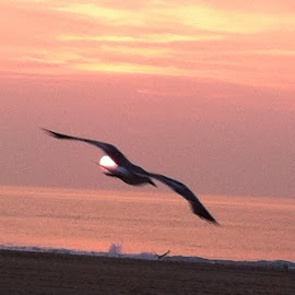 Gull at sunrise by Anna Kindelberger - Instagram & Mobile Android (  )
