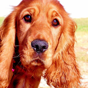Golden by Adell du Plessis - Animals - Dogs Portraits ( female, spaniel, dog, golden, cocker )