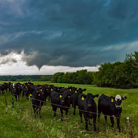 Everyone wants to watch the storm chaser by David Patterson - Landscapes Weather ( countryside, warned, weather, severe, storms, mother nature, tornado, cows, livestock )