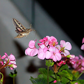 Hummingbird Moth by Rick Blakeley - Nature Up Close Other Natural Objects ( night photography, geranium, wings, moth, hummer )