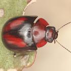 Erudite Beetle