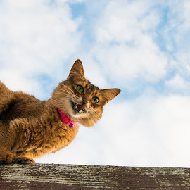 cat on a hot tin roof by Rita Bruche - Animals - Cats Playing ( cats, cheeky, sky, funny, somali, rooftop )