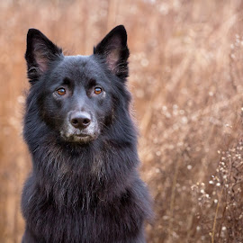 Kiya by Kinsey Winger - Animals - Dogs Portraits ( field, shepherd, nature, society, humane, beautiful, adopt, rescue, dog, mutt )