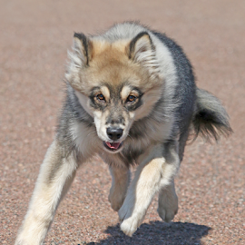 Fast runner by Mia Ikonen - Animals - Dogs Running ( finnish lapphund, happy, action, finland, fun )