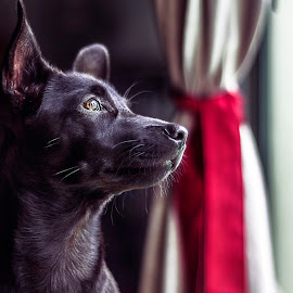 by Bert Wastelife - Animals - Dogs Portraits ( mirror, window, indoor, elegant, cute, handsome, dog, portrait, outside, curtain, animal )