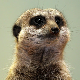 Meerkat by Ralph Harvey - Animals Other Mammals ( wildlife, meerkat, ralph harvey, marwell zoo, animal )
