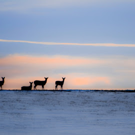 Blue Hour Deer Silhouette by Julie Wooden - Animals Other ( mammals, partly cloudy, animals, north dakota, silhouette, hebron, blue hour, wildlife, snowy, game, frozen, landscape, winter, nature, snow, outdoors, deer heard, deer )