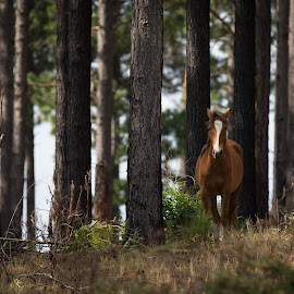 Wild one by Dawie Nolte - Animals Horses ( wild horse, brown horse, horse, plantation horse, trees )