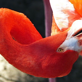 Grooming by David Walters - Animals Birds ( bird, new orleans, zoo, nature, lumix fz200, pink flamingo, closeup )