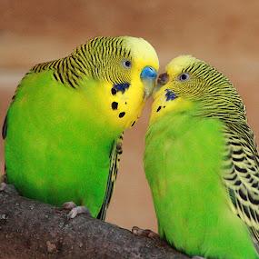 Parakeet Love by Virginia Folkman - Animals Birds