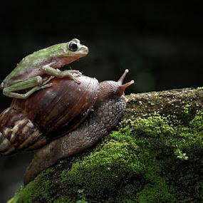 Lazy Frog by Andi Adinata - Animals Amphibians ( macro, amphibian )