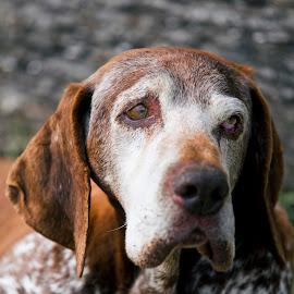 Old Friend by Stanley P. - Animals - Dogs Portraits ( friend )