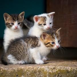 by Nediljko Prološčić - Animals - Cats Kittens