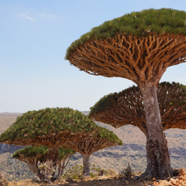 Dragon Blood Tree by Prasad Kotian - Nature Up Close Trees & Bushes ( dragon blood tree, socotra, yemen, dracaena cinnabari, dixam )