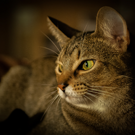 by Benoit Beauchamp - Animals - Cats Portraits