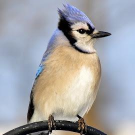Blue Jay by Anita Frazer - Animals Birds ( bird, blue jay )