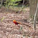 Goudfazant (Golden pheasant)