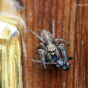 Jumping Spider with Prey