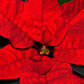 Bright Red Poinsettia by Bryan Wenham-Baker - Nature Up Close Gardens & Produce ( plant, bright red poinsettia, poinsettia, red flower, red bracts, bright red, bracts, flower )