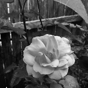 Blooming by Amanda Daly - Black & White Flowers & Plants