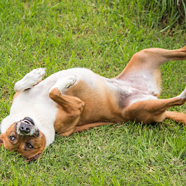 Looking Sideways by Deborah Bisley - Animals - Dogs Playing ( tan and white, canine, rolling, grass, looking sideways, paws up, dog, eyes )