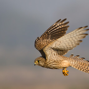Common Kestrel by Srikanth Iyengar - Animals Birds ( photographs, srikanth, india, iyengar, birds )