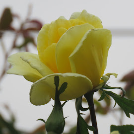 Yellow Bud by Carol O'Connor - Flowers Flower Buds
